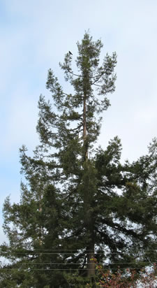Crow Perched on 60 foot redwood tree along Almond Ave.