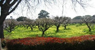Los Altos Civic Center Apricot Orchard